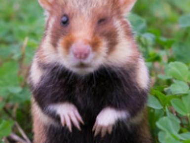CRICETUS : Protection du hamster d'Europe et de la biodiversité des paysages agricoles du Rhin Supérieur